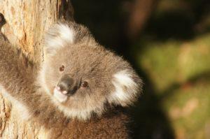 コアラ絶滅危惧の理由